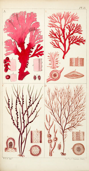 Four genera of sea-weed. Engraving by James Peterkin, from William Henry Harvey, A manual of British marine algae. Date: 1849