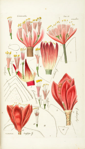 Haemanthus incarnatus. Illustration from William Herbert, Amaryllidaceae. Preceded by An attempt to arrange the monocotyledonous orders. And followed by A treatise on crossbred vegetables, and supplement. Date: 1837