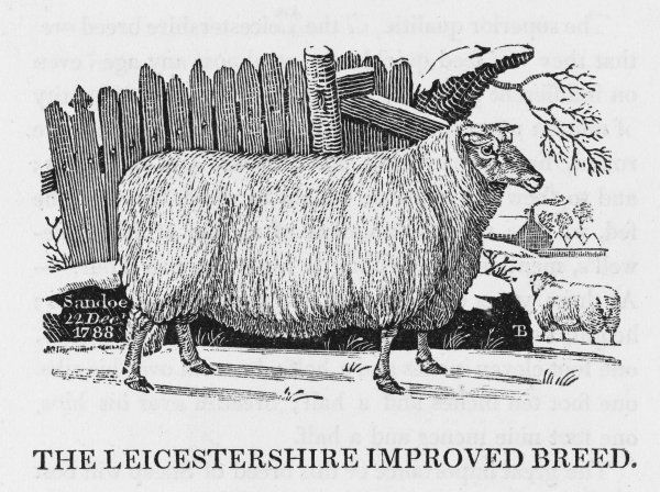 The Leicester Improved breed of sheep