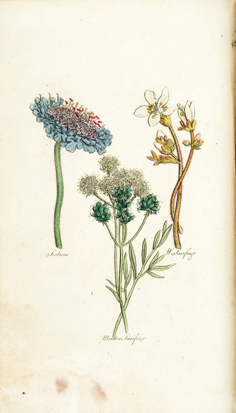 Scabious, Meadow Saxifrage, White Saxifrage. Coloured plate from Sir John Hill M.D., The Family Herbal (engraving?) Date: circa 1820