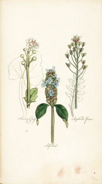 Scurvy Grass, Self-Heal, Shepherds' Purse. Coloured plate from Sir John Hill M.D., The Family Herbal (engraving?) Date: circa 1820