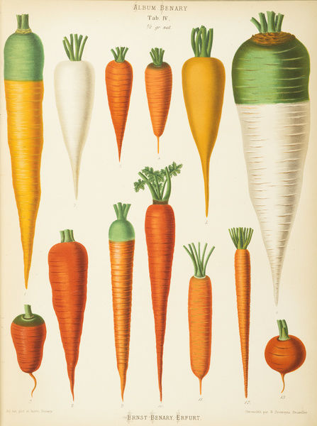 Varieties of carrot (daucus). Chromolithograph by G. Severeyns, of Brussels, from Ernst Benary, Album Benary. Date: 1876-86