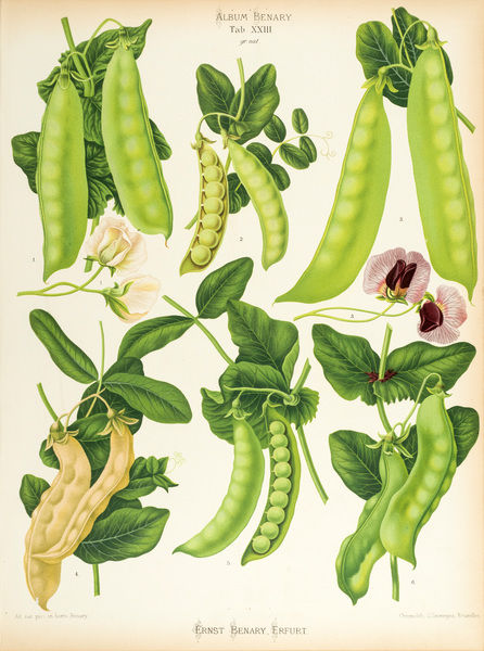 Varieties of edible-podded pea, or sugar pea. Chromolithograph, by G. Severeyns, of Brussels, from Ernst Benary, Album Benary. Date: 1876-86