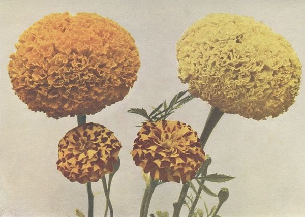 African marigold and French marigold