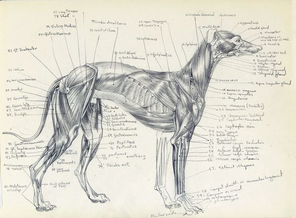 Anatomical drawing of the muscles of a greyhound, precisely labelled