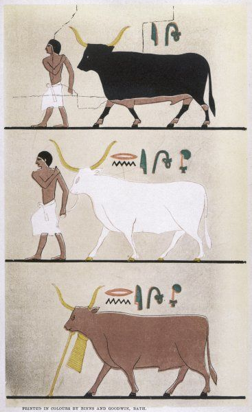 Cattle belonging to Prince Mourhet of Ancient Egypt