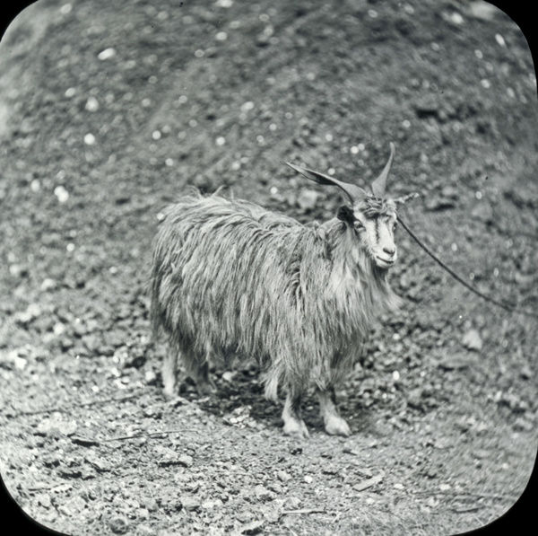 Animals at a French Zoo - Cashmere goat