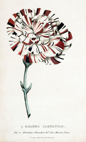 A bizarre carnation.'. Chromolithograph from Thomas Hogg, A Treatise on the Carnation, and Other Flowers. 2nd edition. Date: circa 1832