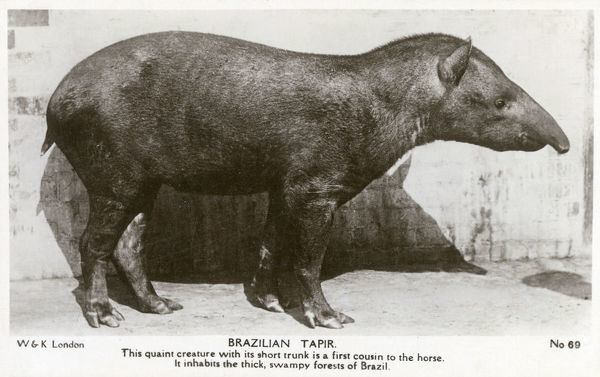 Brazilian Tapir - Native to the thick, swampy forests of Brazil and a first cousin to the horse. Date: circa 1944