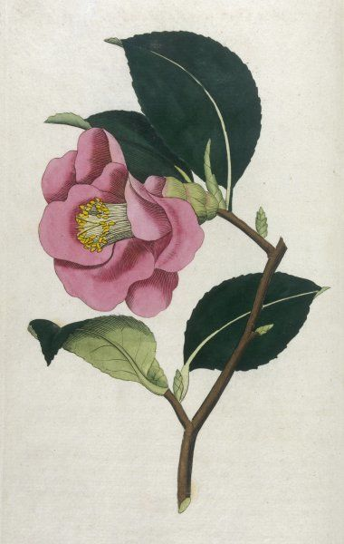CAMELLIA JAPONICA. also known as ROSE CAMELLIA