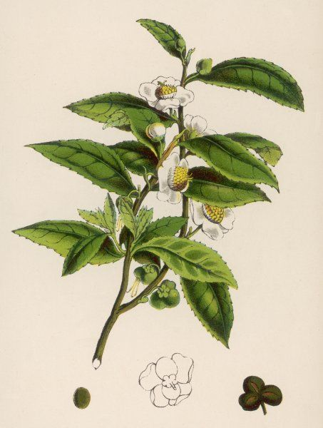 or THEA SINENSIS branch of a TEA PLANT