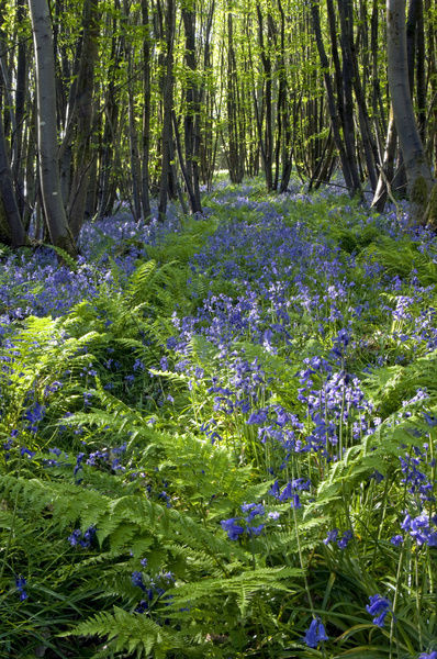 Common Bluebells flowering en mass - copse wood
