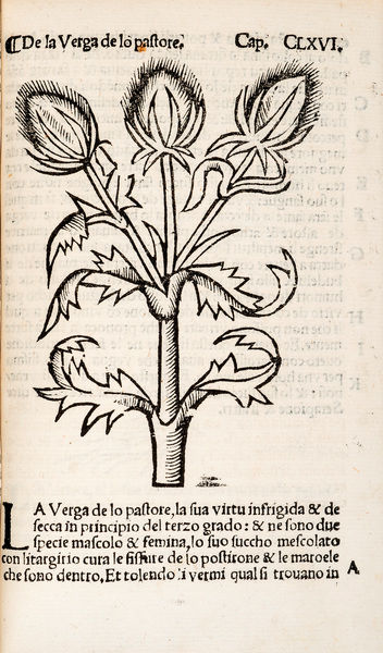 Common Teasles or Shepherd's rod. Woodcut illustration from Herbolario volgare Date: 1536