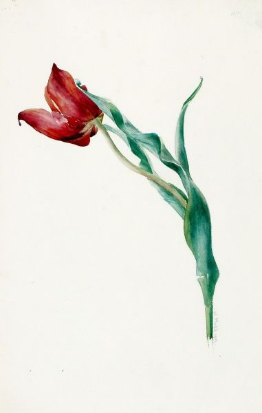Design for Sketches -- a single tulip. Watercolour and Pencil on heavy paper. 1909