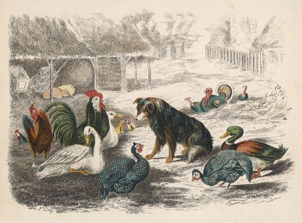 DOG AND POULTRY. Dog in farmyard with various farmyard birds