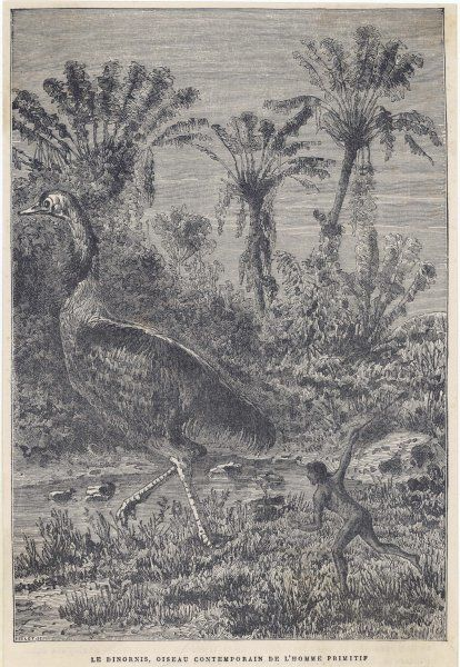 An artist's impression of how the extinct dinornis or moa (aepyornis ingens), a genus of flightless birds native to Madagascar, might have looked