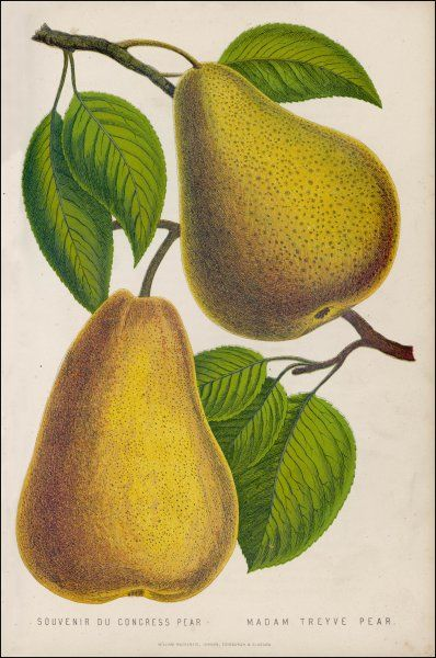 FRUIT/PEAR. MADAM TREYVE (right) SOUVENIR DU CONGRESS (left)