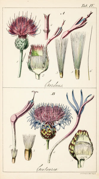 """Genera Carduus (""true thistle"") and Centaurea. Chromolithograph from Sir William Jackson Hooker, The British Flora, Vol.1. Tab IV."" Date: 1842"