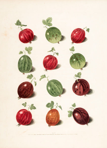 Gooseberry varieties. Illustration from George Brookshaw, Pomona Britannica. Plate IV. Date: 1817