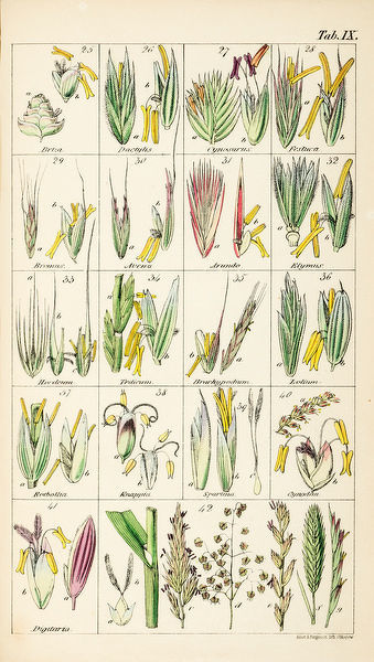 Grasses. Chromolithograph from Sir William Jackson Hooker, The British Flora, Vol.1. Tab IX. Date: 1842