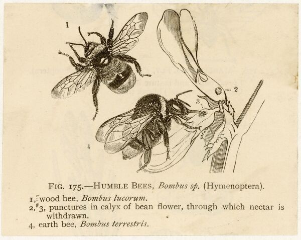 INSECTS/BEE. Humble bees; the wood bee (top) and earth bee (bottom)