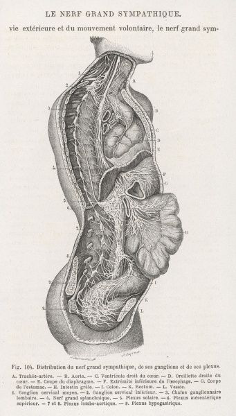 Internal anatomy. the nervous system of the spine