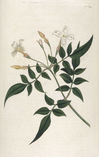 JASMINUM OFFICINALE. COMMON JASMINE