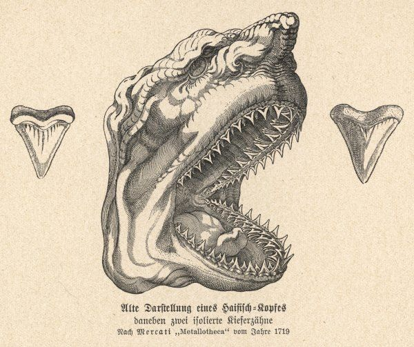 The jaw of a shark, showing its teeth