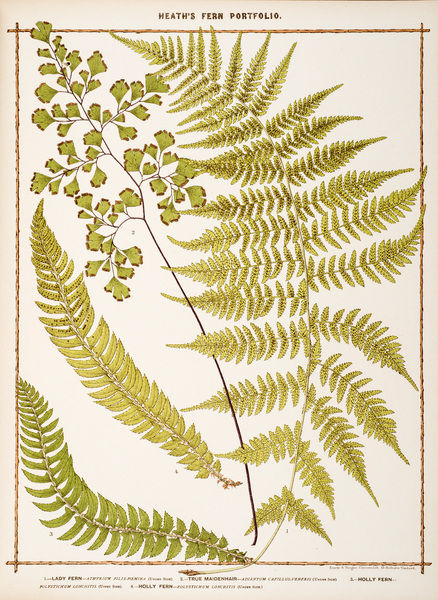 Lady Fern, True Maidenhair and Holly Fern. Chromolithograph from Francis George Heath, The Fern Porfolio, all the species of British ferns Date: 1885