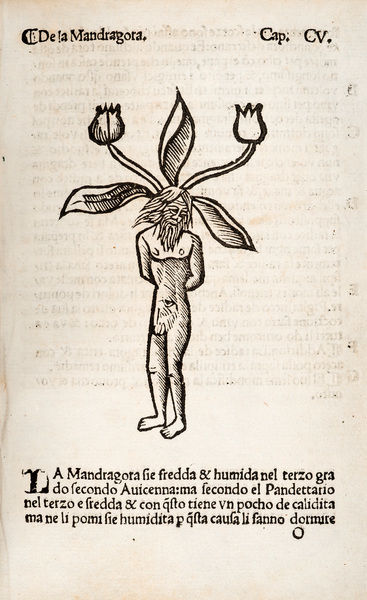 Mandragora or Mandrake (male). Woodcut illustration from Herbolario volgare Date: 1536