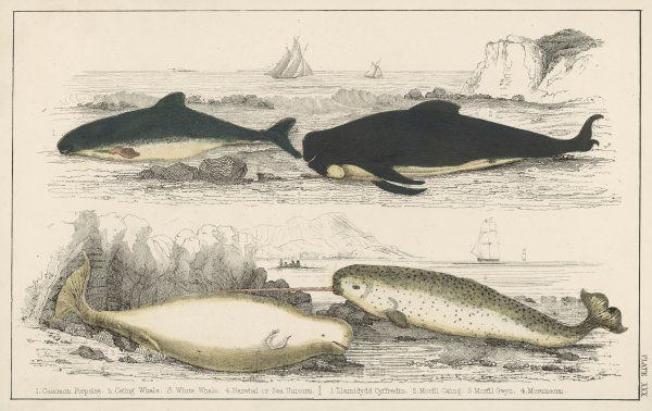 Four different whales, including the Porpoise, Ca'ing whale, White whale, and the Narwhal