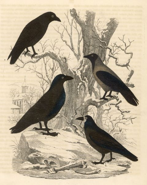 Four members of the Corvidae family -- a raven (corvus corax) and three crows (corvus corone, corvus cornix and corvus frugilegus)