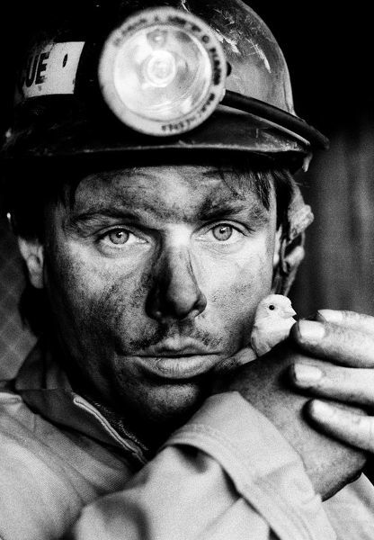 Staffordshire coal miner gently holds the last canary to work down a British coal mine. Canaries were used to detect poisonous and dangerous gas in mines Date: 1986