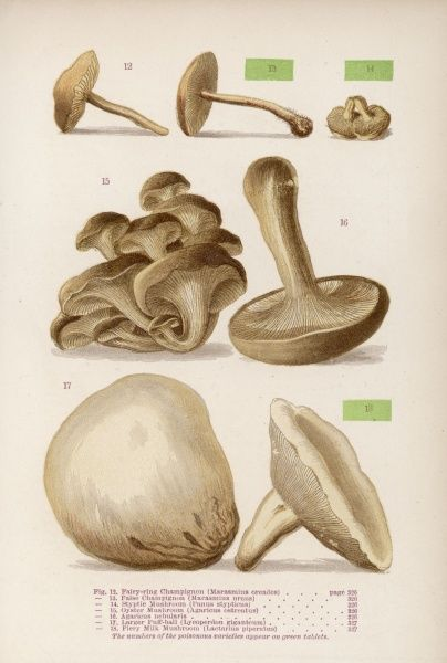 Varieties of mushroom: the three poisonous items are labelled in green