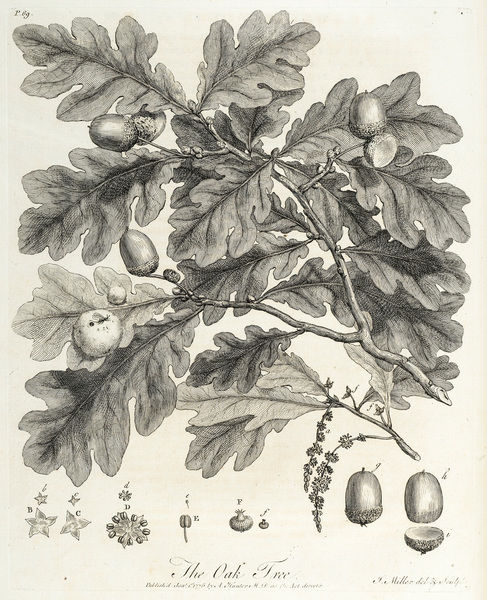 Oak tree: branch and constituent parts. Engraving by John Miller, from John Evelyn, Silva; or, A discourse of forest-trees.Page 69. Date: 1776