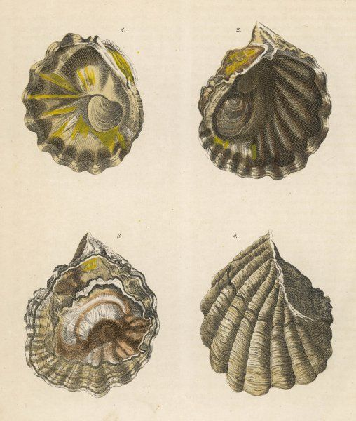 Four oyster shells, seen from different angles