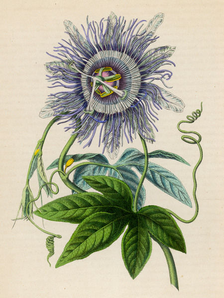 Passiflora -- Passion Flower -- brought from Peru/Brazil to Europe in 1699