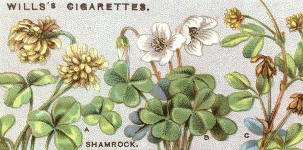 Plants/Shamrock. A shamrock may be either - a - white clover