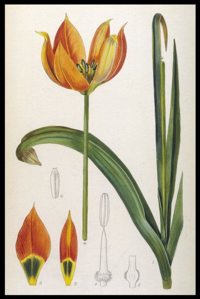 TULIPA WHITTALLII An orange tulip