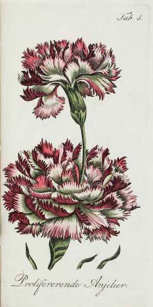 Proliferating carnation. Illustration from Dr John Hill, Verhandeling over de verdubbeling van bloemen
