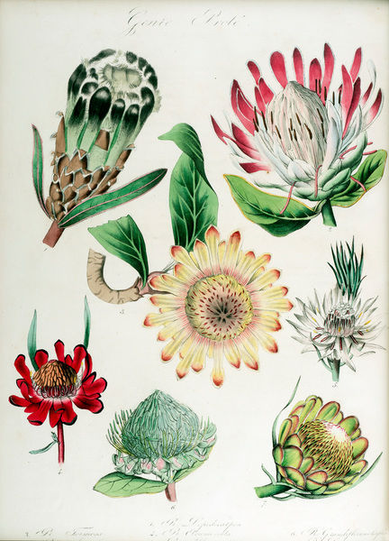 Protea: seven varieties. Hand-coloured lithograph by G. Severeyns, from Encyclographie du regne vegetal: sertum botanicum: collection de plantes par une societe de botanistes. Volume 8 Date: 1823-37