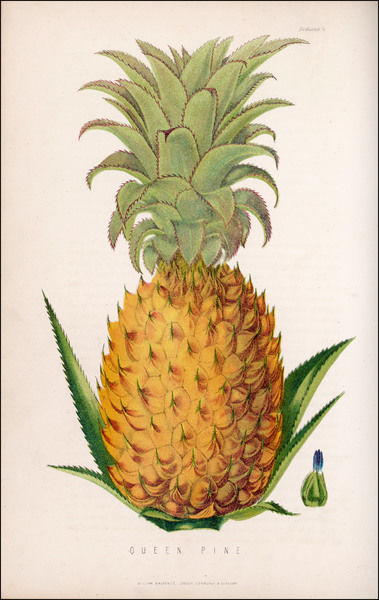 A queen pineapple Date: 1871