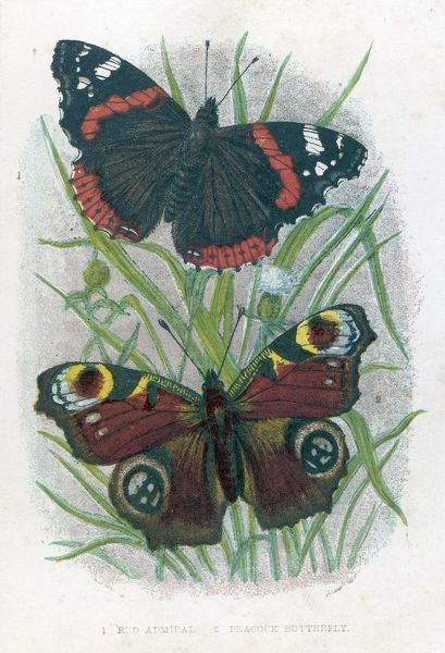 RED ADMIRAL & PEACOCK BUTTERFLIES. Their brightly coloured wing markings are shown clearly