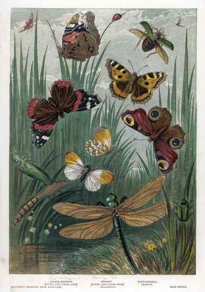 The RED ADMIRAL and other English butterflies