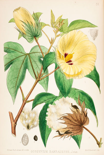 Sea Island Cotton, Gossypium barbadense. Colour plate by David Blair, F.L.S., from Robert Bentley and Henry Trimen, Medicinal Plants Vol 1 (Nos. 1-69) Ranunculace to Anacardiace? Date: 1880