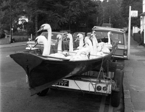 Swans in Transit. Swans in a boat, being transported