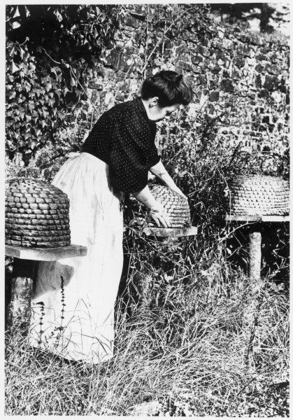TENDING THE BEES. A lady bee keeper tending her bees