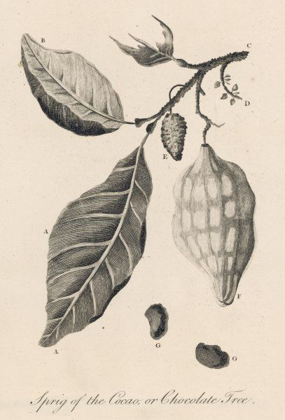 THEOBROMA CACAO. A sprig of the cocoa or chocolate tree THEOBROMA CACAO