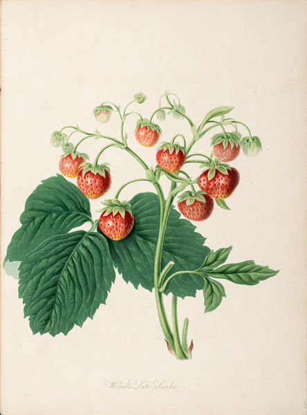 Wilmot's Late Scarlet Strawberry. Coloured engraving from William Hooker, Pomona Londinensis: containing colored engravings of the most esteemed fruits cultivated in the British Gardens. Vol. I. Plate XLVIII. Date: 1818