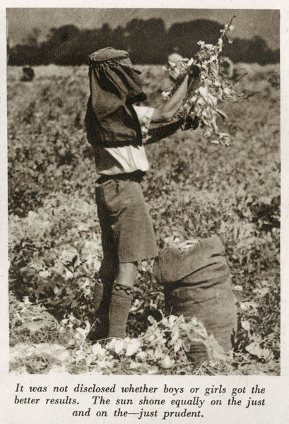 WW2 - Home Front - Boy from Trinity County School, Wood Green, Middlesex picking Peas